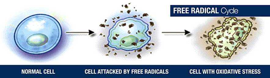 normal_to_free_radical_damaged_cell